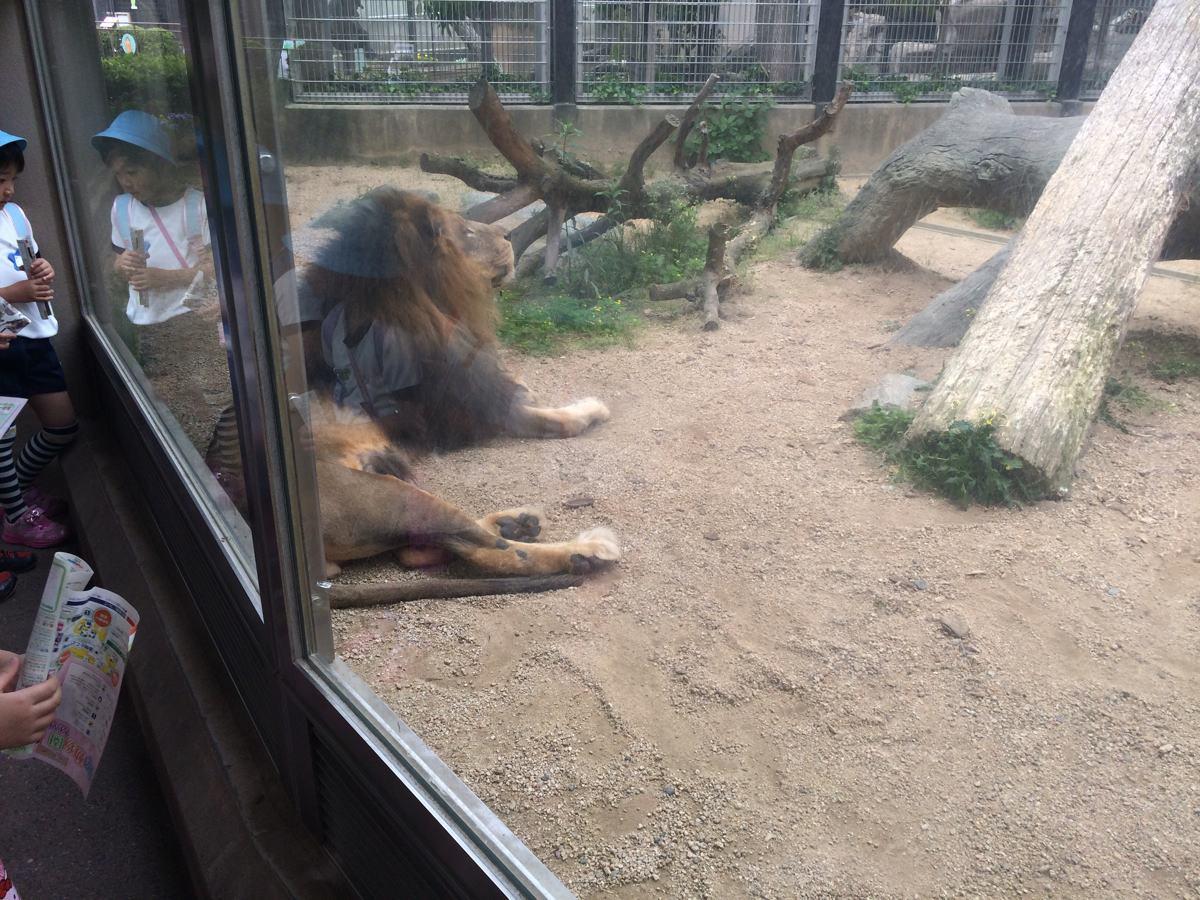 王子動物園動物のライオン