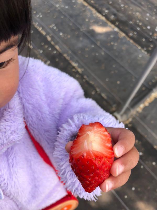 【岡山」いちご狩り 「中山いちご園」のいちごが大きくて甘くてフレッシュでおいしい!