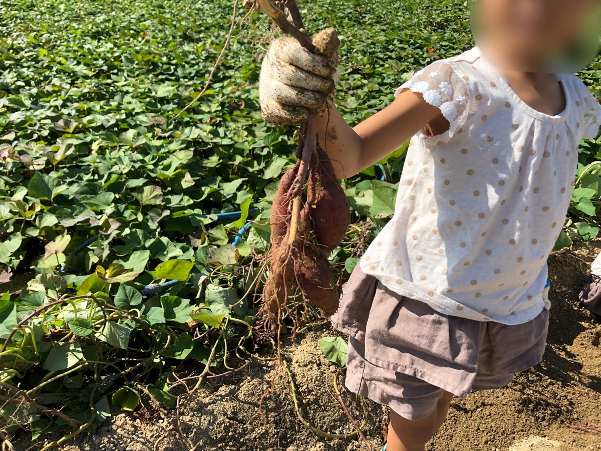 岡山での芋掘り体験 小串観光芋掘り園に行ってきた!