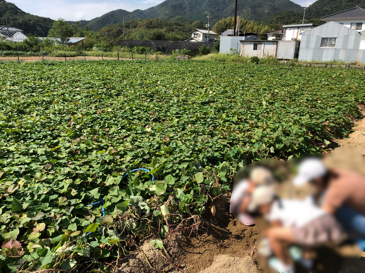 岡山の小串観光芋掘り園のさつまいも畑