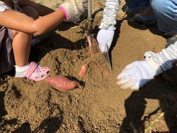 岡山の小串観光芋掘り園でさつまいもを掘っているところ