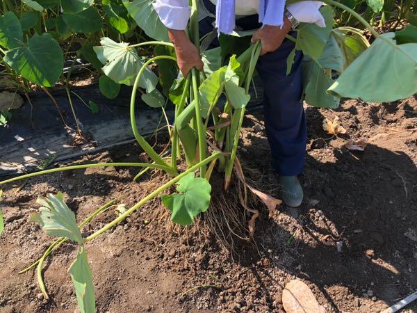 岡山の小串観光芋掘り園でさといもを掘っているところ
