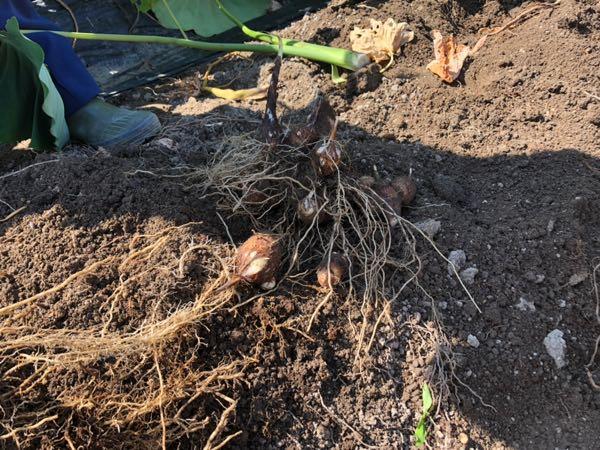 岡山の小串観光芋掘り園で採れたさといも